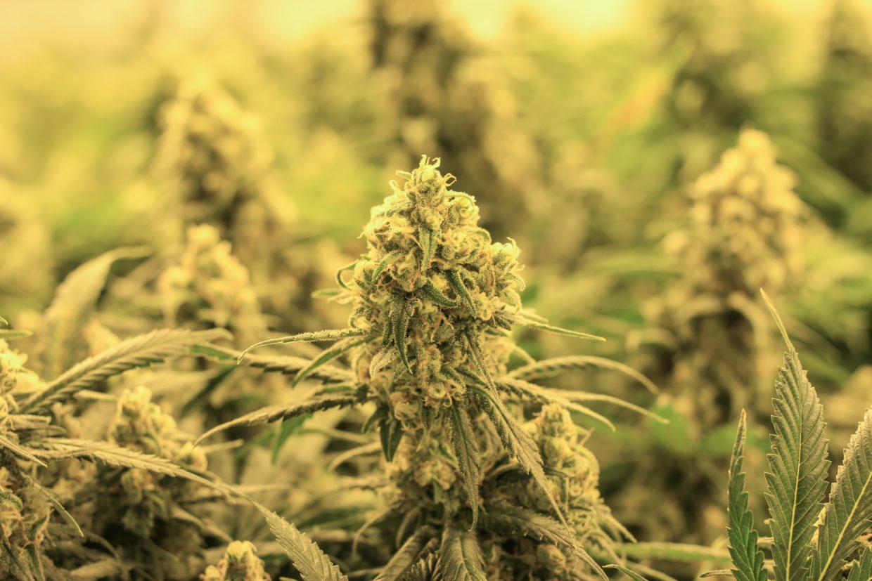 bluesky organics recreational cannabis legalization