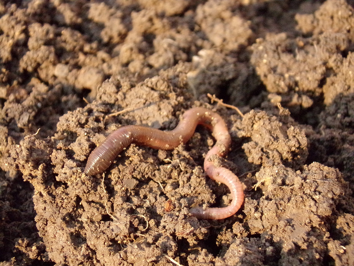 Earthworm in Compost Soil as Fertilizer