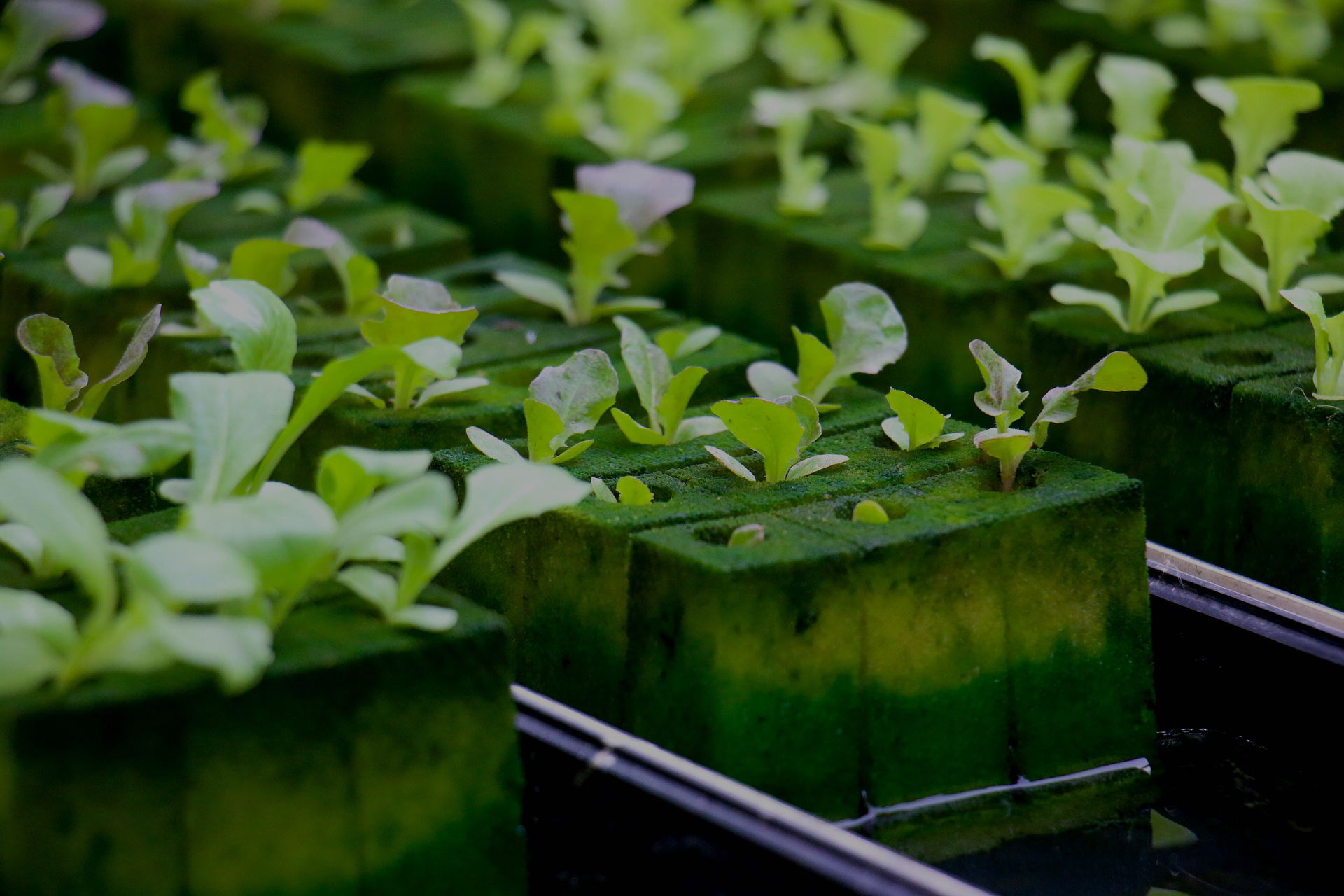 Plants growing in a hydroponic setup; highlighting the environmental impact of starter plugs and rockwool