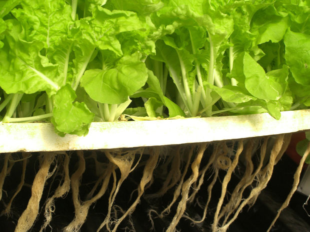Lettuce growing in a hydroponic system with roots below substrate