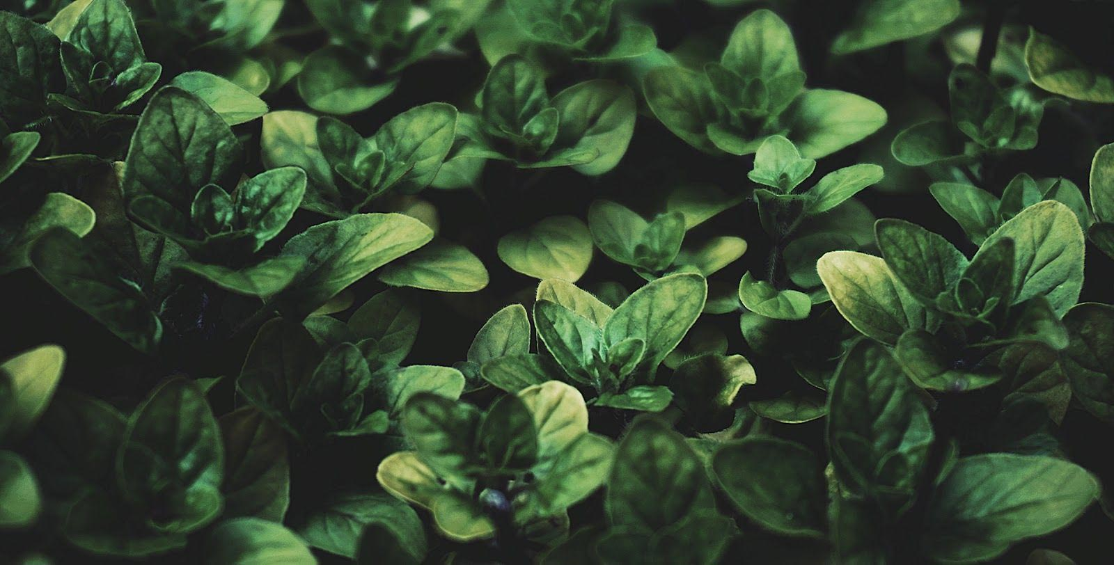 healthy green leaves supporting the case for organic farming