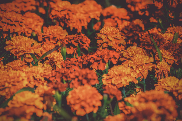 closeup of bright orange marigolds, a popular plant for companion planting