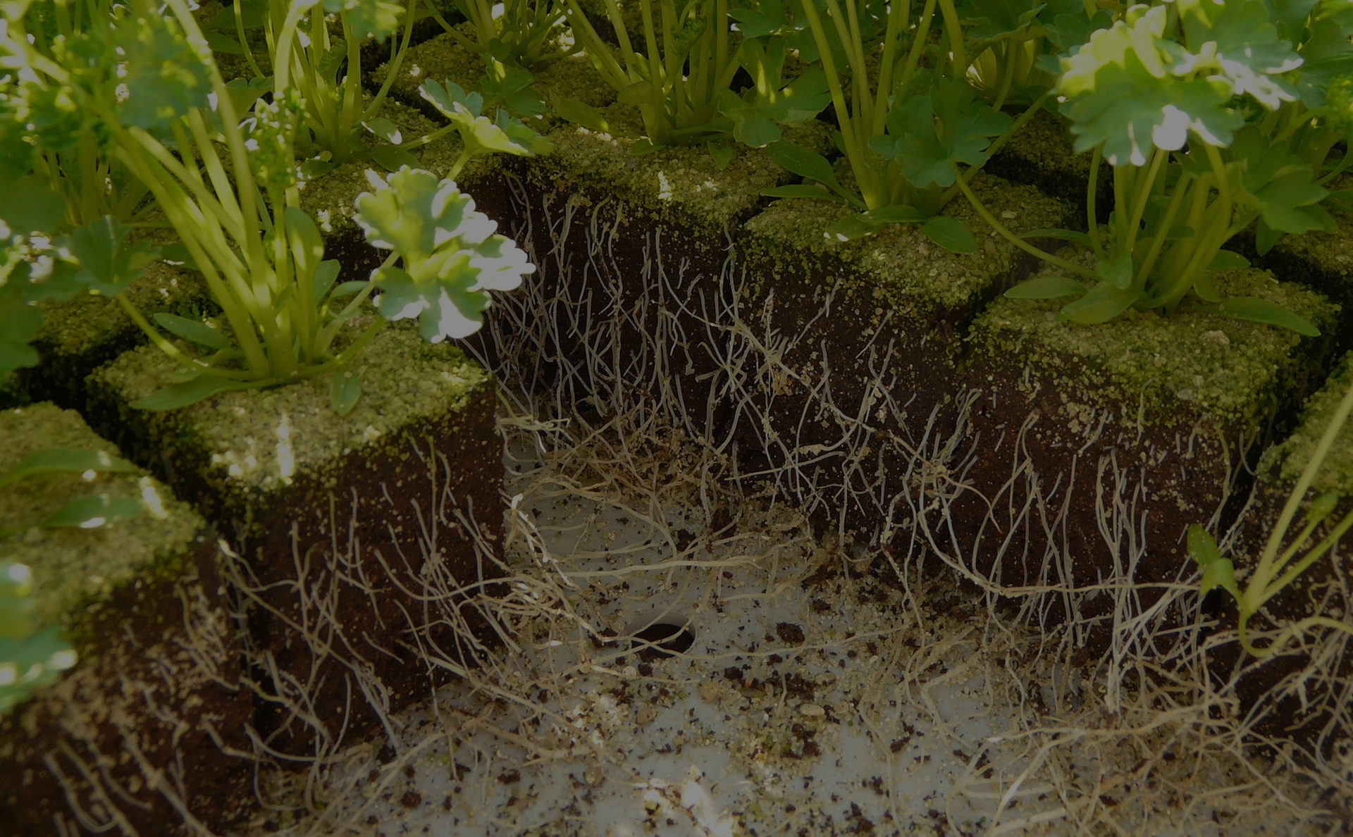 roots in soil of plants highlighting Myco-Grow & The Benefits of Mycorrhizae
